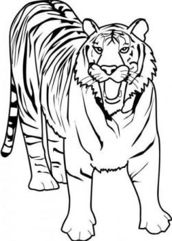 tigres para colorear